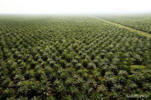 El Acuerdo Trans Pacífico (TPP) que se firmó recientemente puede traer una importante alza en la producción, comercio y uso del aceite de palma.